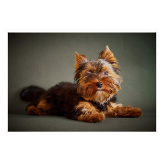 Yorkshire Terrier Poster
