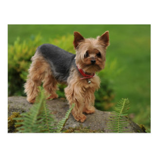 Yorkshire Terrier Puppy Dog Post Card
