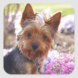 Yorkshire Terrier Square Stickers
