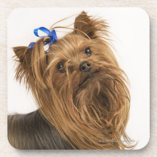 Yorkshire Terrier / Yorkie. Lively breed of Coasters