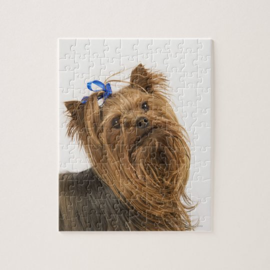 Yorkshire Terrier / Yorkie. Lively breed of Jigsaw Puzzle ...
