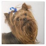 Yorkshire Terrier/Yorkie. Raza animada de Azulejo Cuadrado Grande