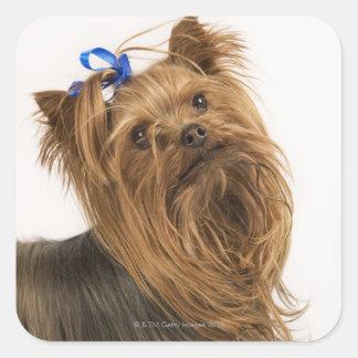 Yorkshire Terrier/Yorkie. Raza animada de Calcomanías Cuadradas