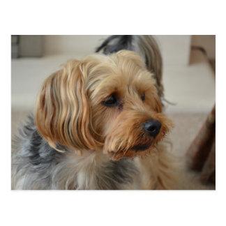 Yorkshire Terrier Zac Tarjetas Postales