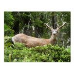 Yosemite Deer Postcard
