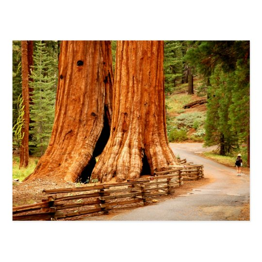 Yosemite redwood trees postcard