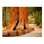 Yosemite redwood trees postcards