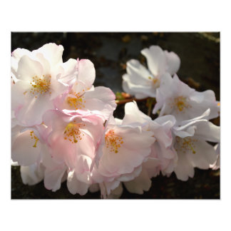 """Yoshino Cherry Bloosoms 20""""x16"""" Photo Print"""