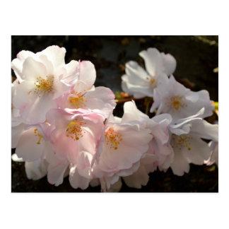 Yoshino Cherry Bloosoms Postcard