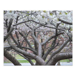 """Yoshino Cherry Tree 16""""x20"""" Photo Print"""