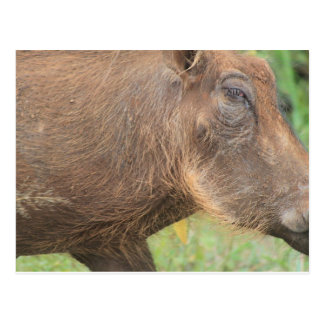 You talkin' to me? Funny warthog from Africa Postcard