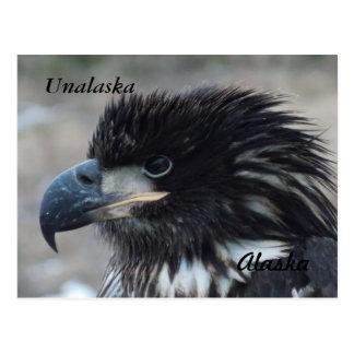 Yound Bald Eagle Postcard
