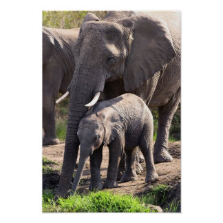 Young African Elephant With Elephant Baby Poster
