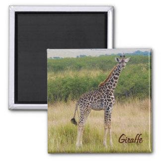 Young African Giraffe in Kenyan Savannah Magnet