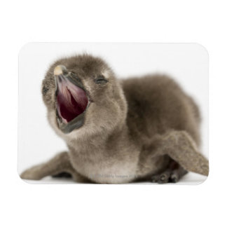 Young African Penguin - Spheniscus demersus. Magnet