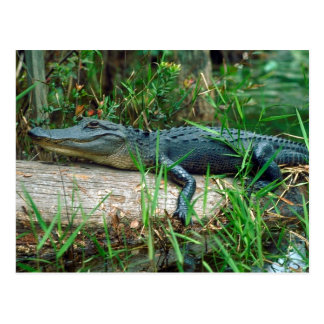 Young Alligator Postcard
