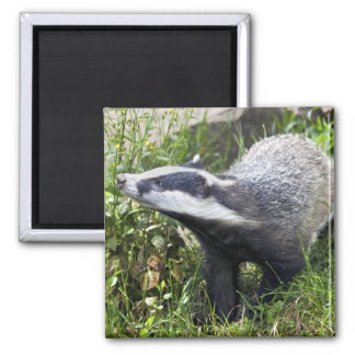 Young Badger Magnet