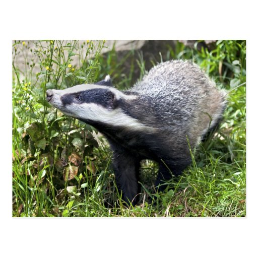 Young Badger Postcard