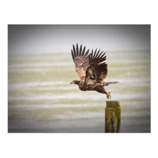 Young Bald Eagle Postcard
