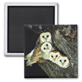 Young barn-owls, 9 weeks old 2 inch square magnet