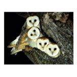 Young barn-owls, 9 weeks old post card