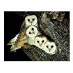 Young barn-owls, 9 weeks old postcard
