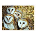 Young barn-owls postcard