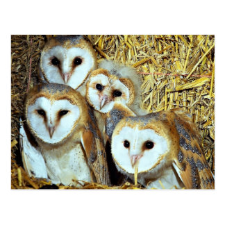 Young barn-owls postcard