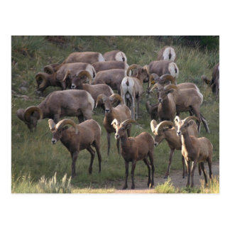 Young Bighorn Sheep Postcard
