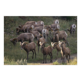 Young Bighorn Sheep Poster