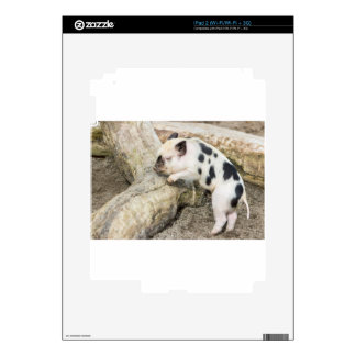 Young black and white piglet at tree trunk iPad 2 skin