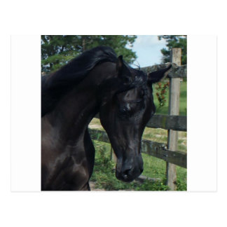 Young Black Arabian Stallion Postcard