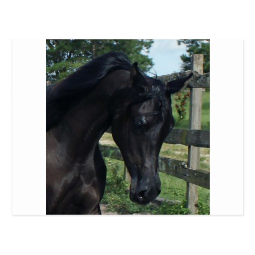 Young Black Arabian Stallion Postcards