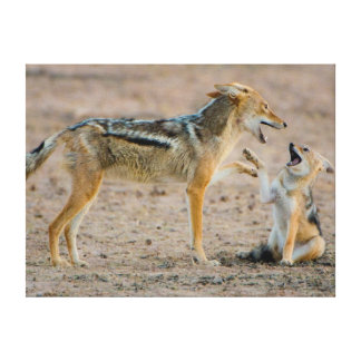 Young Black Backed Jackal (Canis Mesomelas) Pup Canvas Print