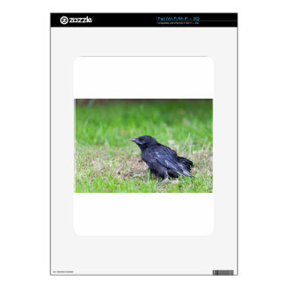 Young black crow sitting in green grass decal for the iPad