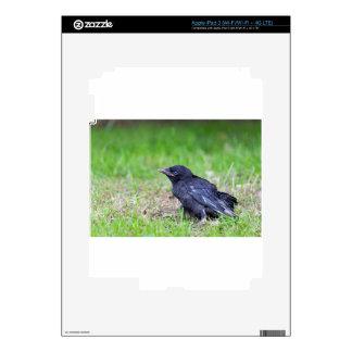 Young black crow sitting in green grass iPad 3 skin
