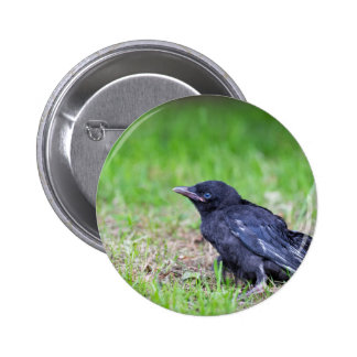 Young black crow sitting in green grass pinback button