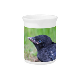 Young black crow sitting in green grass pitcher