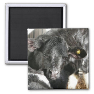 Young Black Heifer Calf 2 Inch Square Magnet