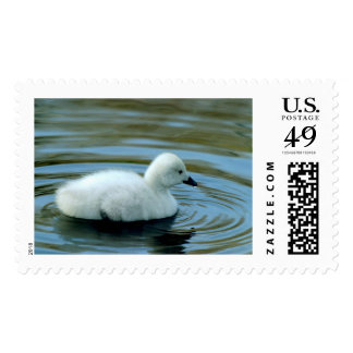 Young Black Neck Swan Postage Stamp