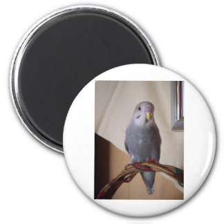 young blue budgie magnet