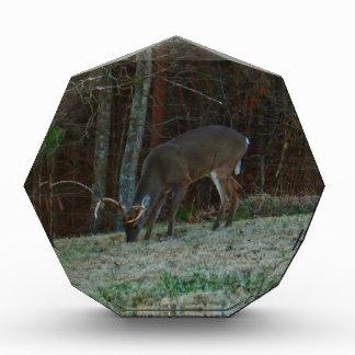 Young Buck Stag Deer Feeding Award