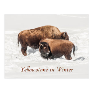 Young Buffalo or Bison with Mother Postcard