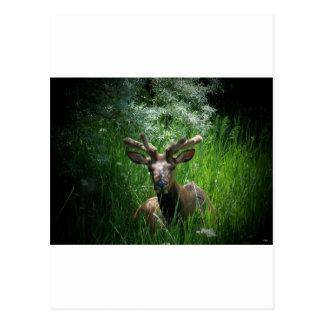 Young Bull Elk In Velvet Postcards