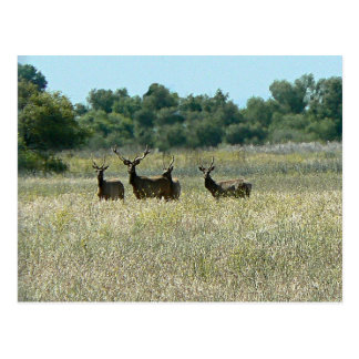 Young Bull Elk Post Cards