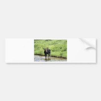 Young bull moose drinking water in a stream. bumper sticker