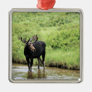Young bull moose drinking water in a stream. metal ornament