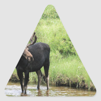Young bull moose drinking water in a stream. sticker