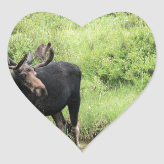 Young bull moose drinking water in a stream. heart sticker