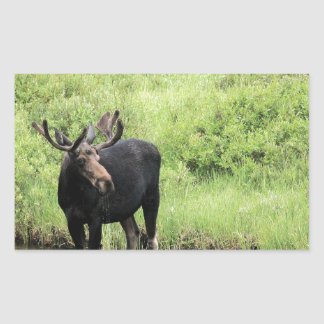 Young bull moose drinking water in a stream. rectangle sticker